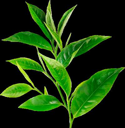 Hojas de árbol de té