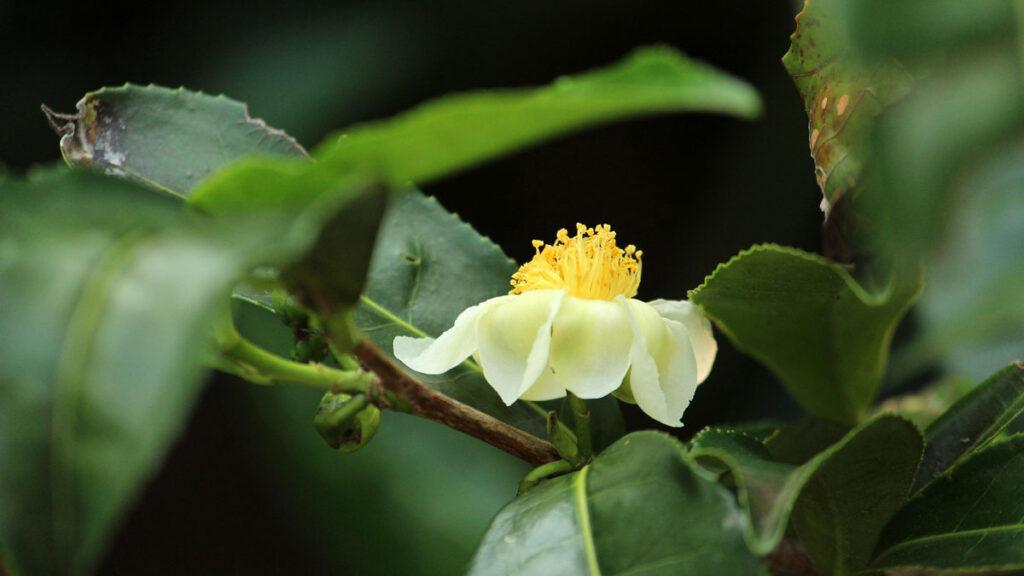 Flor del árbol del té