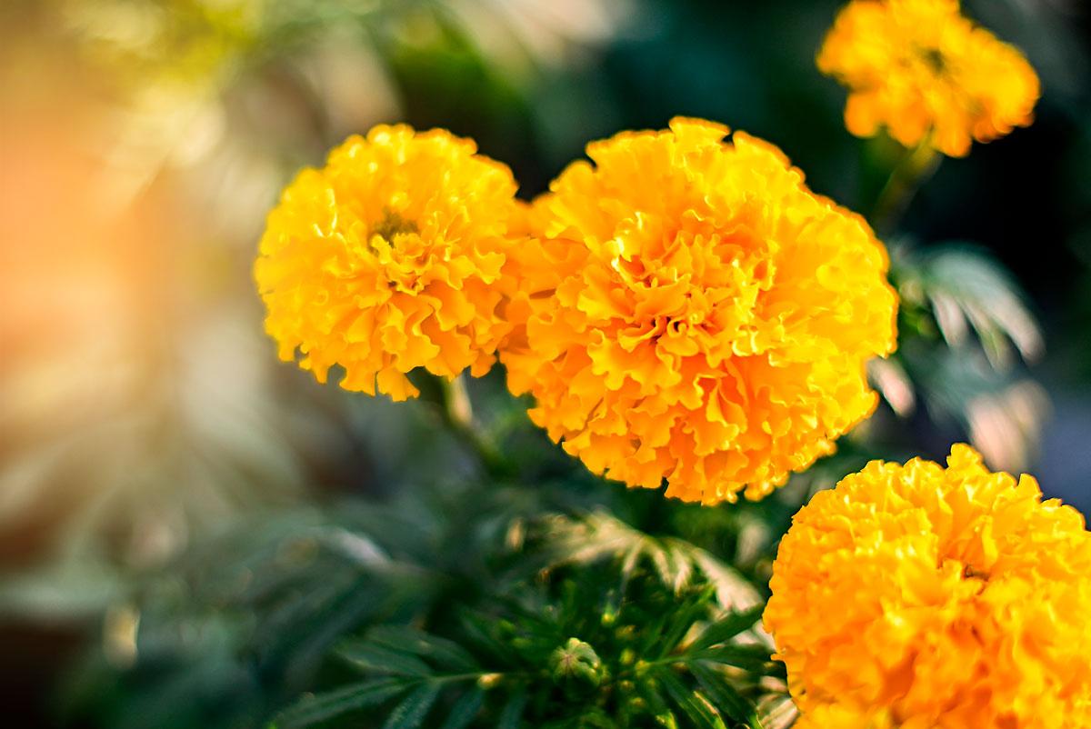 calendula africana flor