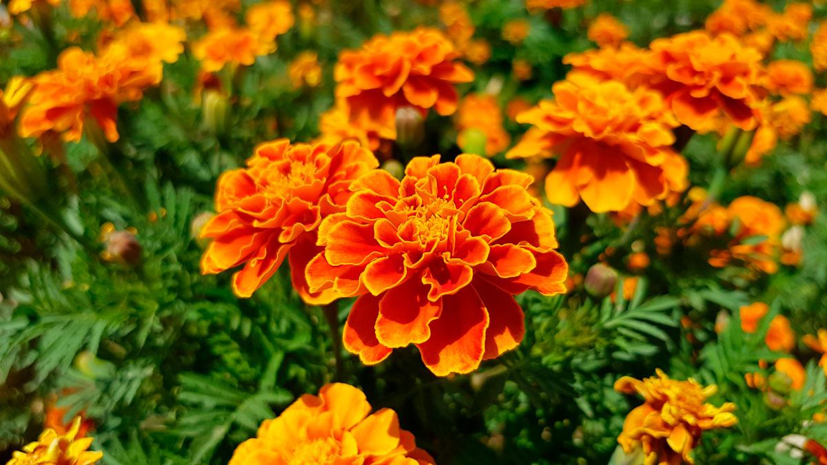 calendula francesa flor