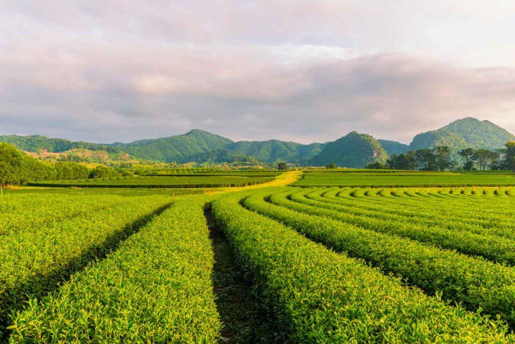 Campo de árboles de té